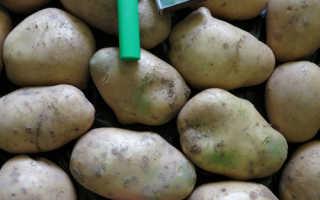 Сорт картофеля «Фрителла» – описание и фото