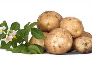 Сорт картофеля «Барин» – описание и фото