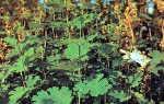 Боккония сердцелистная — полезные свойства, описание