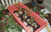 Выращивание черенков роз в картошке – посадка и уход