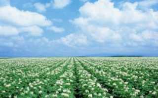 Сорт картофеля «Невский» – описание и фото
