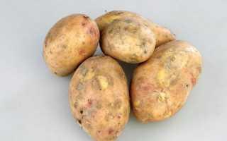 Сорт картофеля «Славянка» – описание и фото