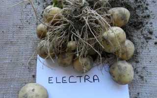 Сорт картофеля «Электра (Electra)» – описание и фото