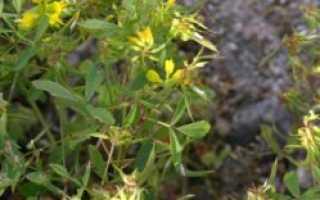 Пажитник сенной (греческий) — полезные свойства, описание