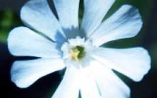 Дрёма смолистая — полезные свойства, описание