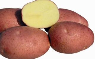 Сорт картофеля «Амур» – описание и фото