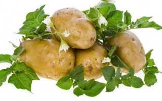 Сорта картофеля для Нижневолжского региона: полный список