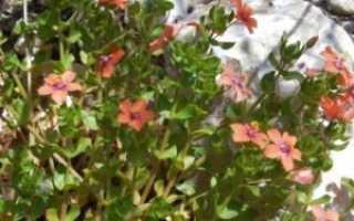 Очный цвет полевой — полезные свойства, описание
