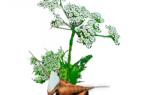 Бутень боброва — полезные свойства, описание