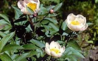 Пион молочноцветковый — полезные свойства, описание