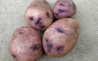 Сорт картофеля – Синеглазка (Ганнибал) описание и фото