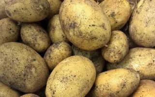 Сорт картофеля «Колетте» – описание и фото