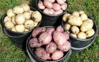 Сорт картофеля «Росинка» – описание и фото