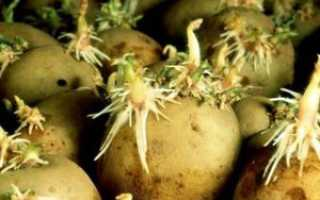 Сорт картофеля «Ред леди» – описание и фото
