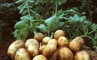 ГМО-картофель (трансгенный): понятие, польза и вред, сорта