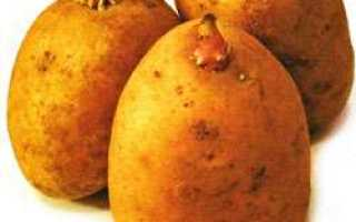 Сорт картофеля «Тайфун (Tajfun)» – описание и фото