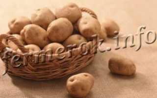 Сорт картофеля «Лапоть» – описание и фото