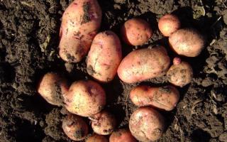 Сорт картофеля «Взрыв» – описание и фото