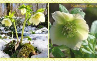 Морозник кавказский — полезные свойства, описание