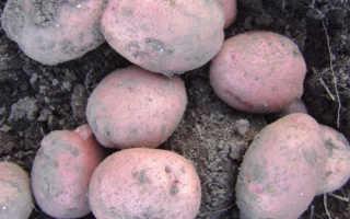 Сорт картофеля «Хозяюшка» – описание и фото