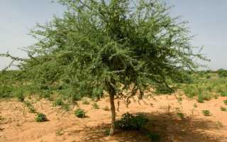 Акация сенегальская — полезные свойства, описание