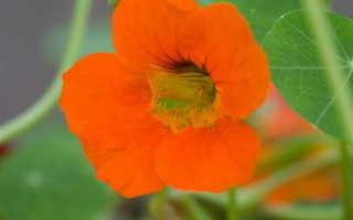 Настурция майская — полезные свойства, описание