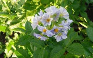 Сорт картофеля «Голубизна» – описание и фото