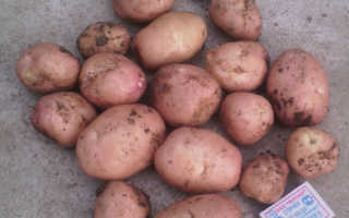Сорт картофеля «Рябинушка» – описание и фото