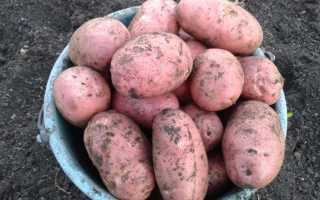 Сорт картофеля «Ред Фентези (Red Fantasy)» – описание и фото