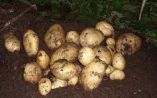 Ржавчина картофеля: причины появления и методы борьбы