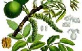 Орех галип — полезные свойства, описание