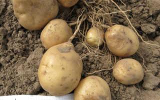 Сорт картофеля «Никулинский» – описание и фото