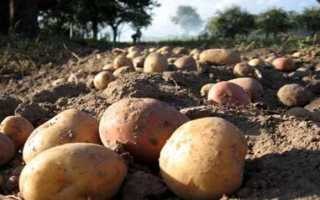 Когда копать картофель – сроки сбора урожая в разных зонах