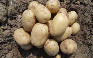 Выбор сорта картофеля в зависимости от региона выращивания