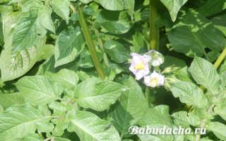 Нужно ли обрывать цветы у картошки – все «за» и «против»