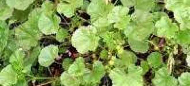 Просвирник лесной — полезные свойства, описание