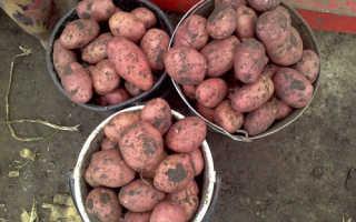 Сорт картофеля «Астерикс» – описание и фото