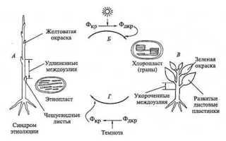 Этиоляция растений, как лечить
