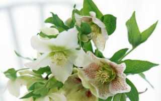 Морозник зелёный — полезные свойства, описание
