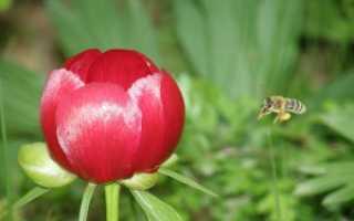 Пион лекарственный — полезные свойства, описание