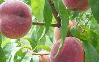 Персик обыкновенный — полезные свойства, описание