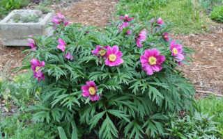 Пион белоцветковый — полезные свойства, описание