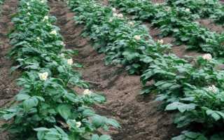 Квадратно-гнездовой способ посадки картофеля – технология