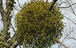 Омела мелколистная — полезные свойства, описание
