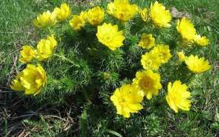 Адонис весенний — полезные свойства, описание