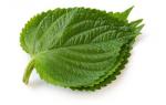 Перилла базиликовая — полезные свойства, описание