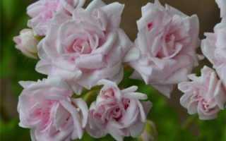 РОКОN для цветущих — отзывы, описание