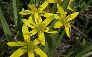 Гагея жёлтая — полезные свойства, описание