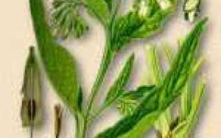 Окопник шероховатый — полезные свойства, описание
