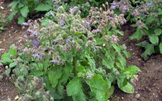 Огуречная трава — полезные свойства, описание